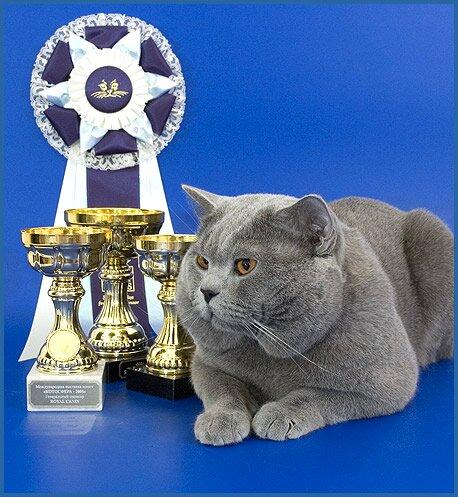 ... британские кошки и британские котята
