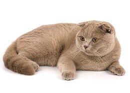 кошка шотландская лиловая фото