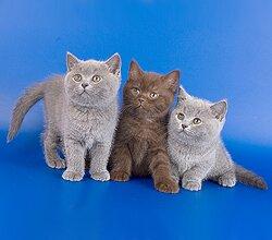 трехмесячные британские котята фото