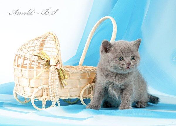 Сколько стоит британский короткошерстный котенок, и где его можно ... | 430x600