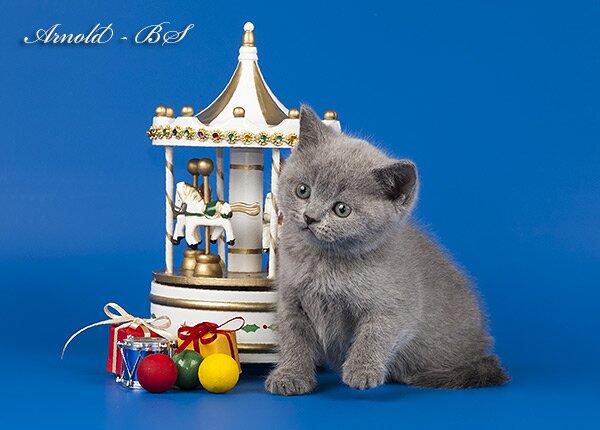 трехмесячные британские котята фото #15