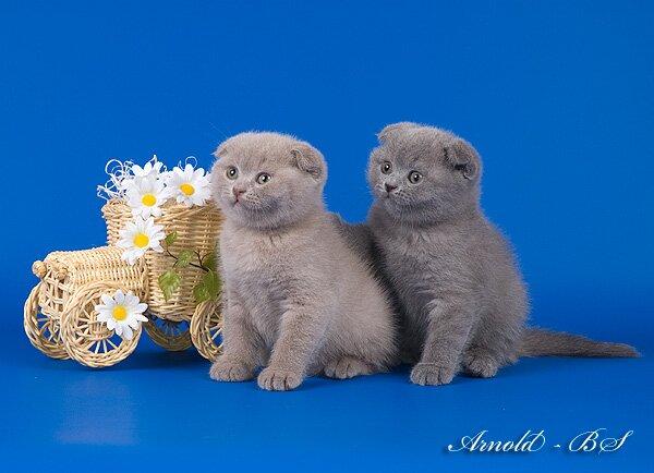 Шо�ланд�кие ви�ло��ие ко�я�а гол�б�е и лилов�е Фо�о ко�я�