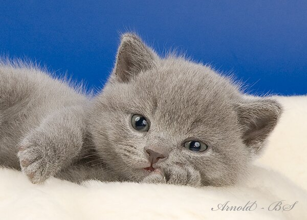 Обыкновенное чудо - голубой британский плюшевый котёнок.