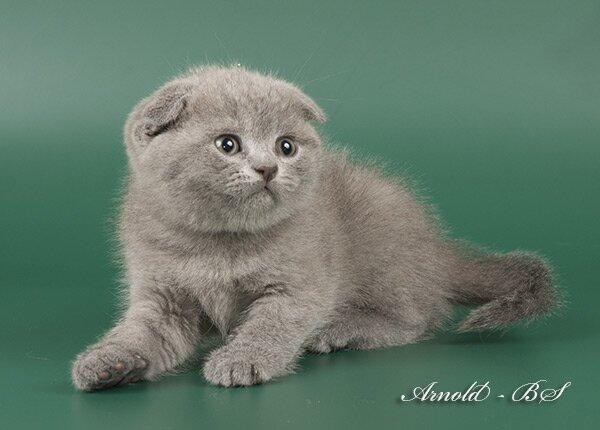 Коты голубые сколько стоят в