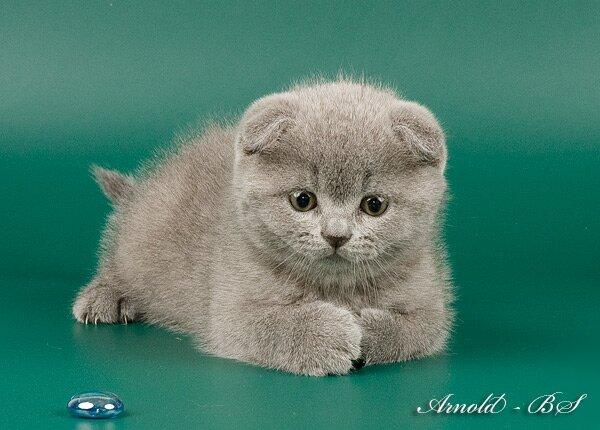 Британские котята  Питомник STYLE of PROVENCE