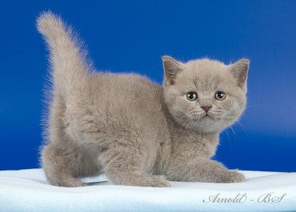 Британский кот голубой цена