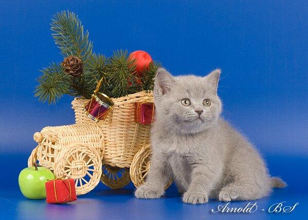 британские котята купить в омске фото