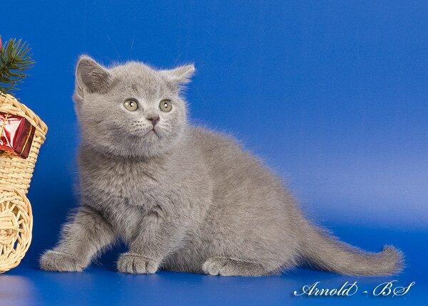 Британская короткошерстная кошка - описание, фото, цена, уход ... | 430x600