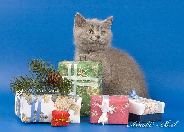 британские голубые котята фото короткошерстные